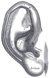 Gray904_ear